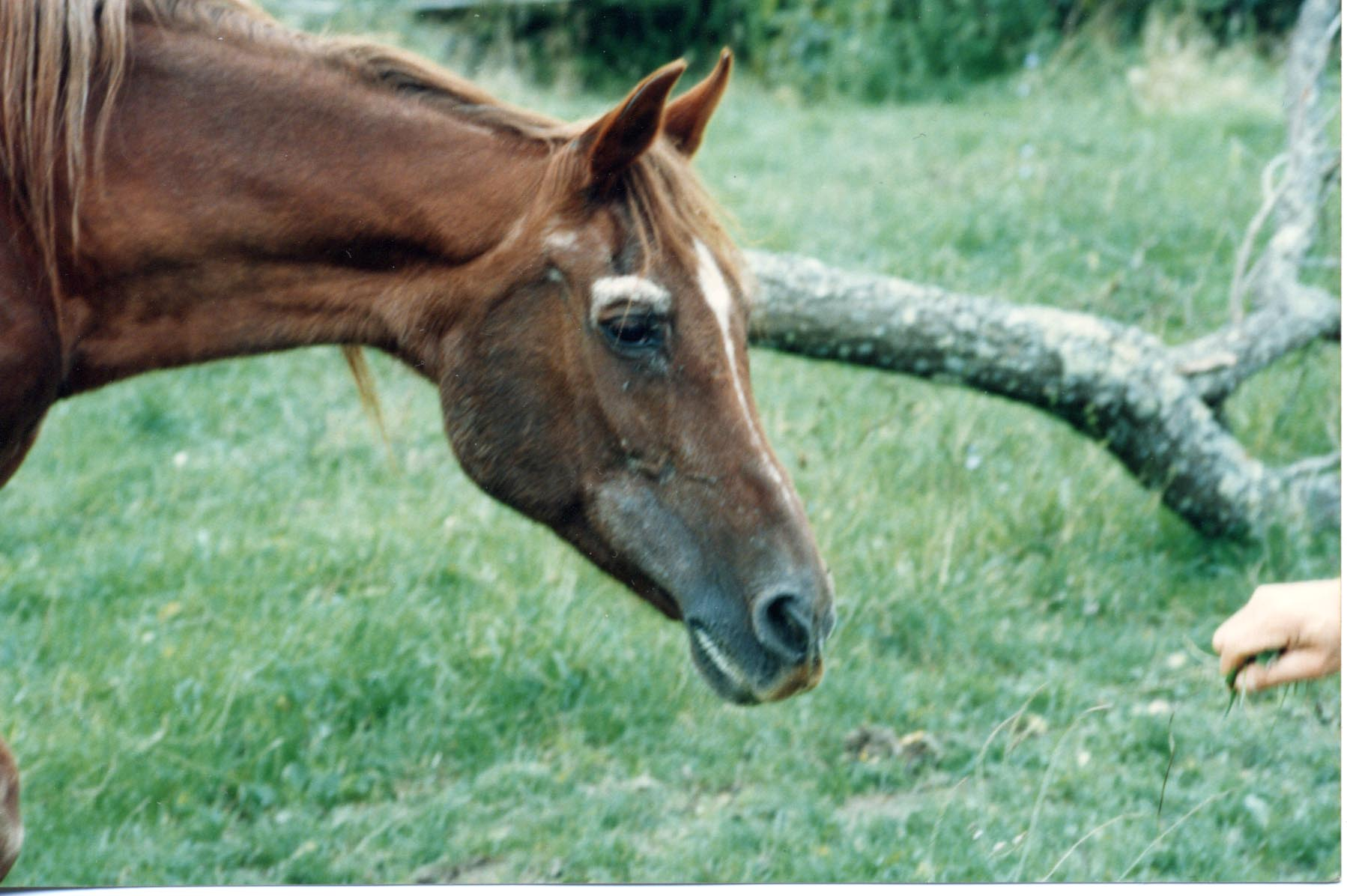 Naziha, an Asil mare of Tunisian bloodlines