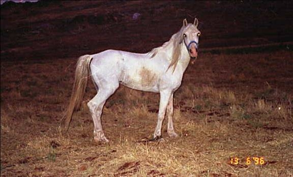Marzuq, desert bred Ma'naghi Abu Sayfayn from the Fad'aan, out of Wadeehah