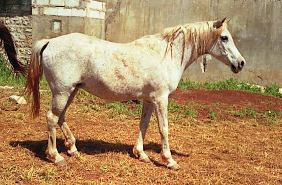 Wadeehah, a desert bred Ma'anaghiyah Sbayliyah from the Fad'aan tribe