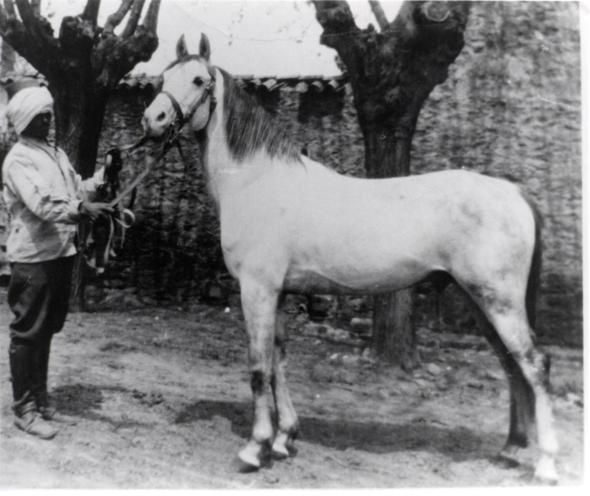Bango, an Asil Ma'anaghi Sbaili of the Shammar, imported to Algeria