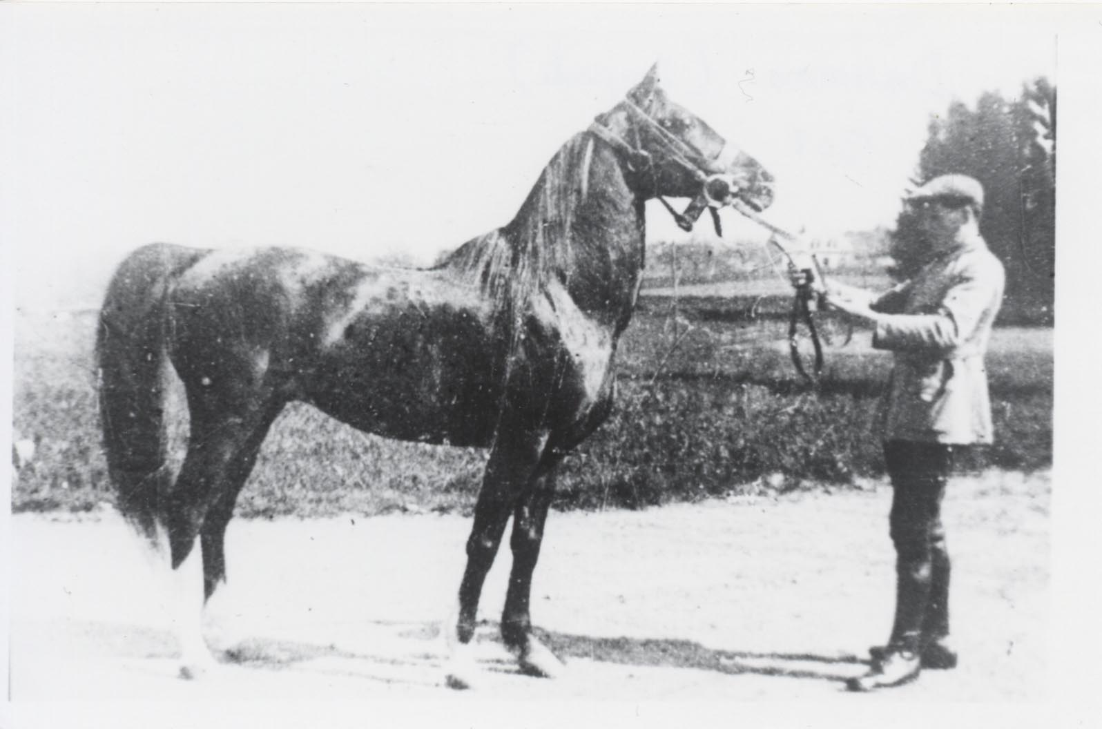 Dahman, an Asil Rabdan stallion bred by the Shammar and imported to France in 1909.