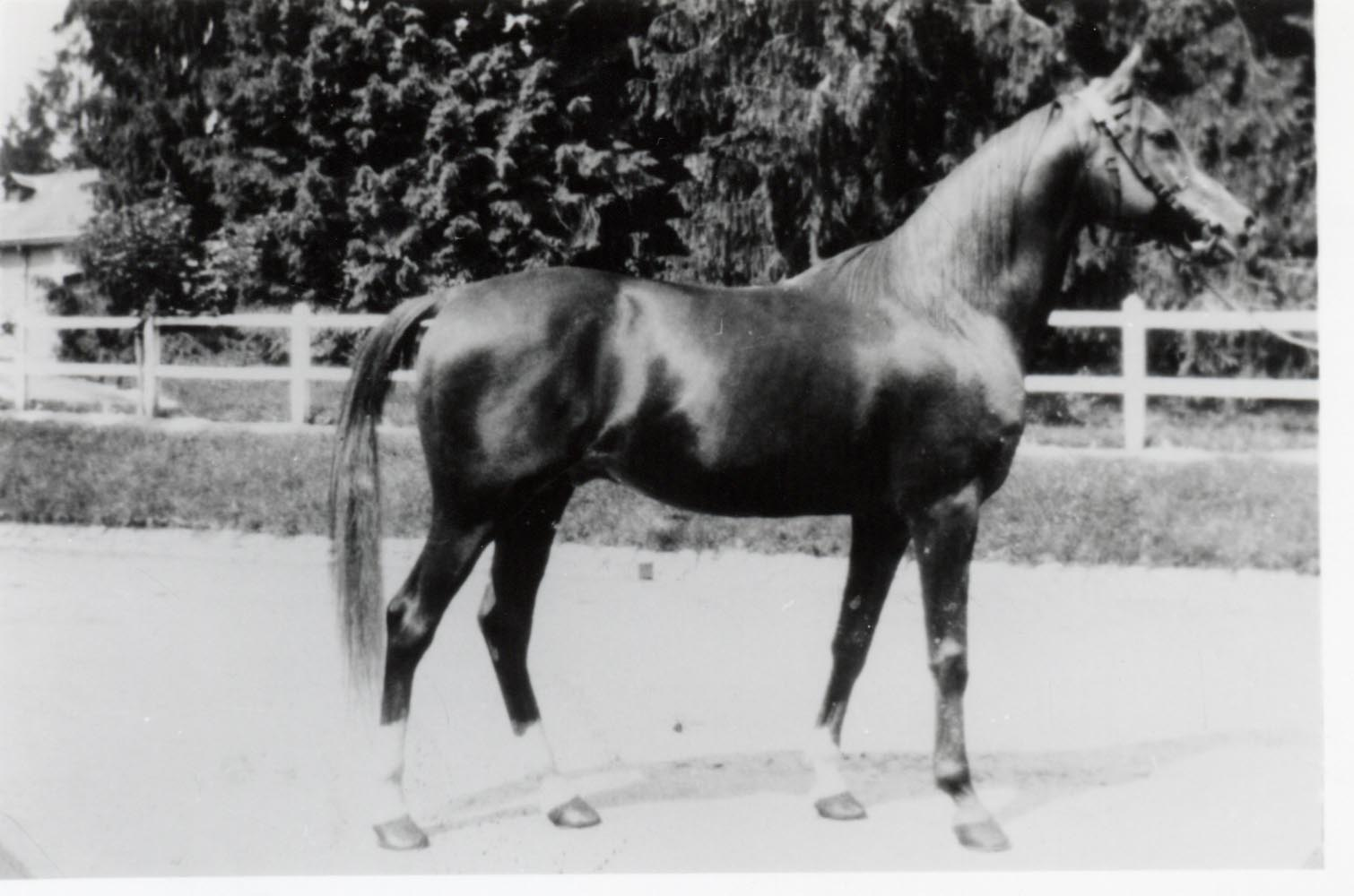 El Sbaa, a desert-bred Asil stallion imported to France in 1925.