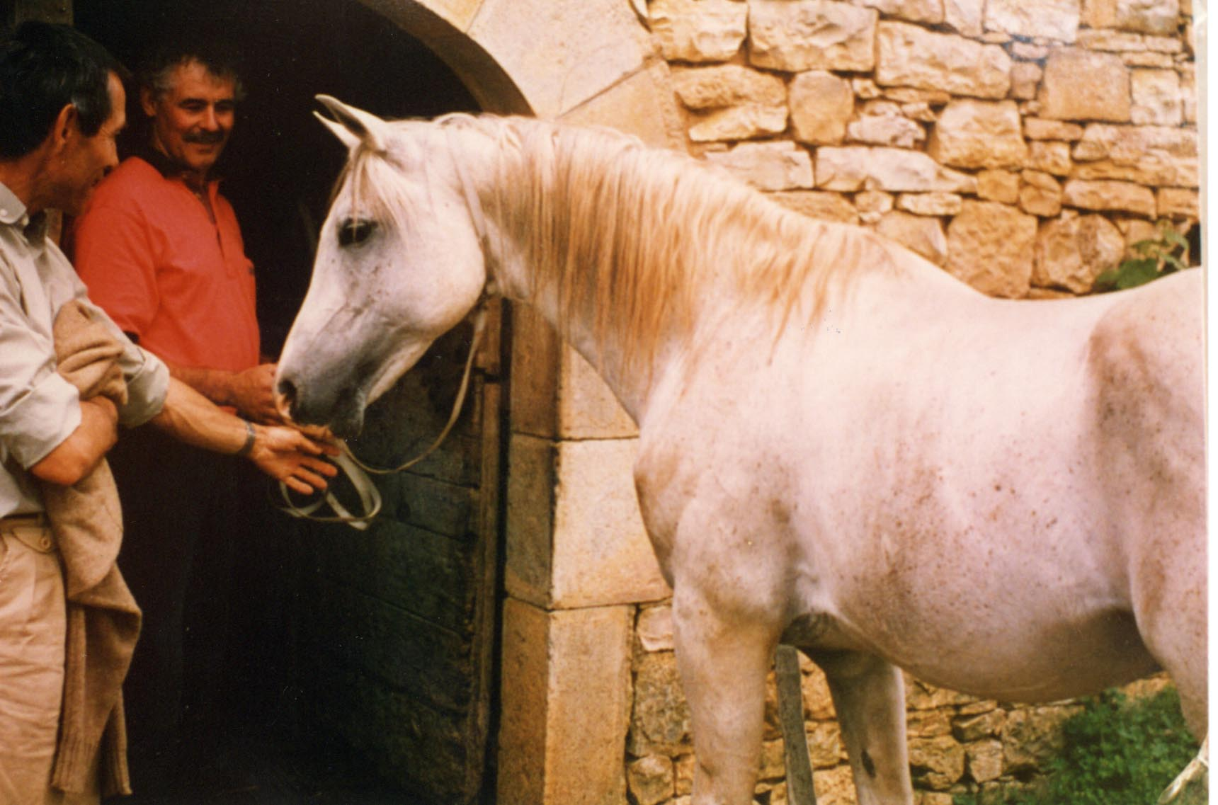 Nichem, an Asil stallion of Algerian and Tunisian bloodlines