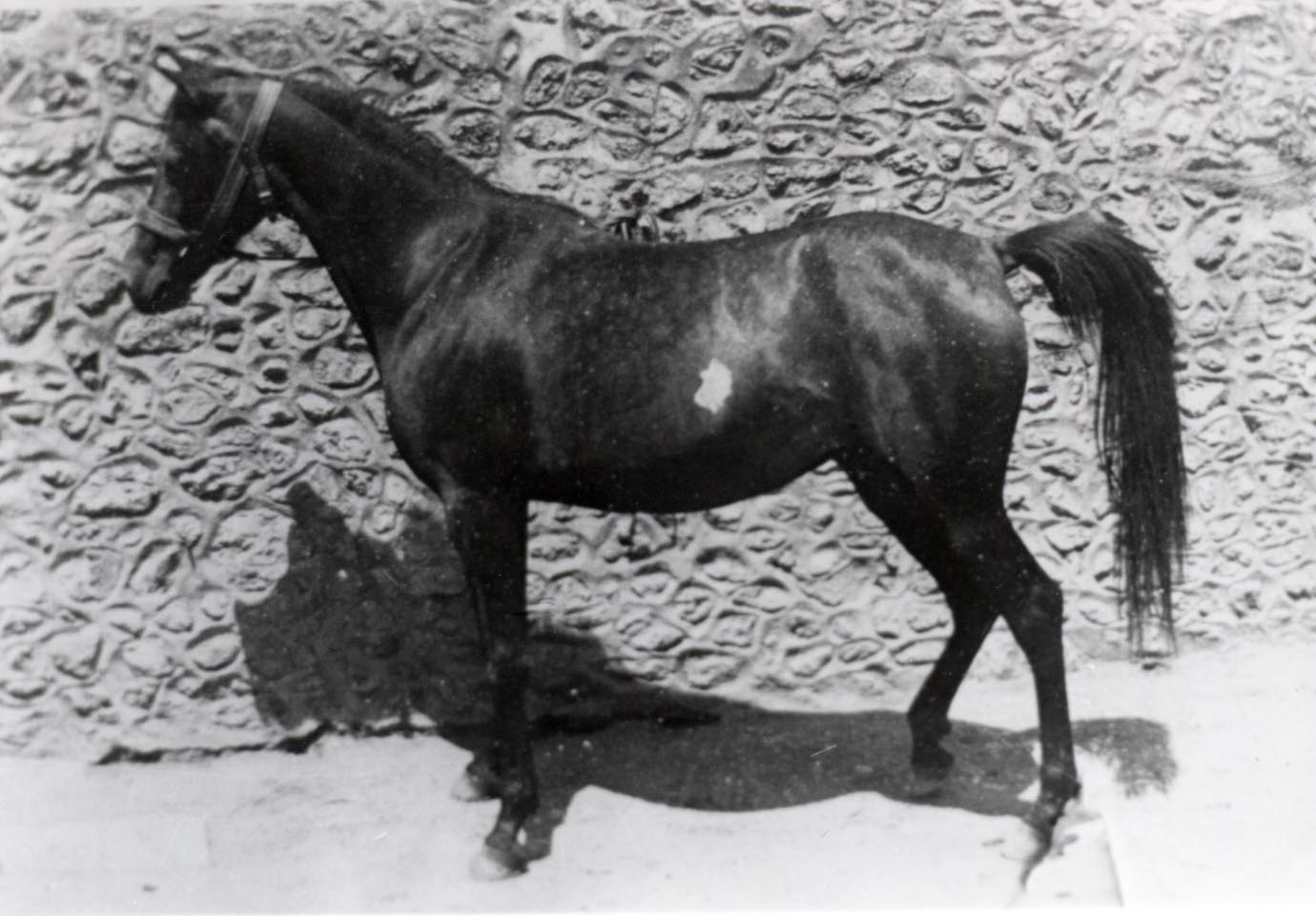 Fadd'a, An Asil mare of Algerian bloodlines born in 1907.