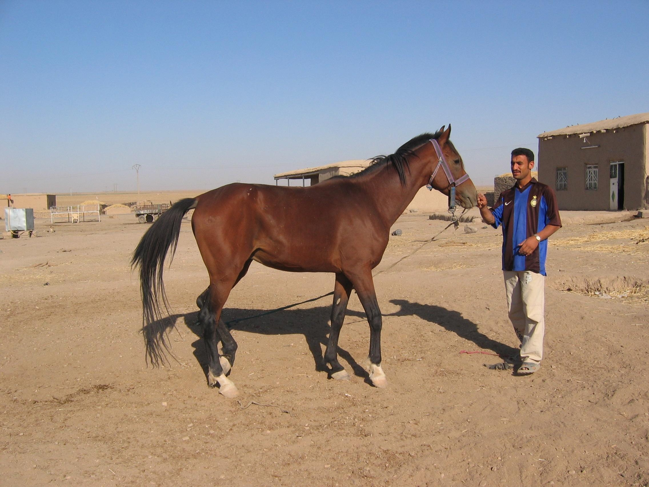 arabian desert horse horse a good skin sports betting tips