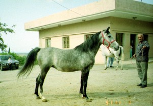 An Asil Kuhaylah al-Tuwayssah from Lebanon, bred by General Salim al-Dahdah, my father