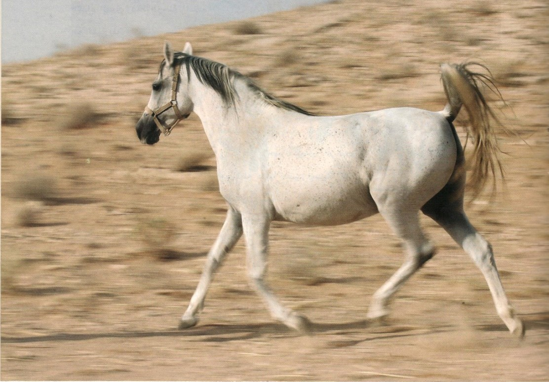 Arabian Horses In The Desert