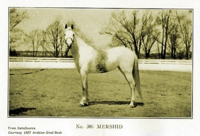 Mershid, an asil Kuhaylat al-Ajuz bred in the USA. True desert type.