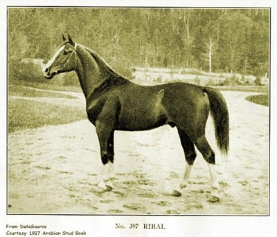 Ribal (Berk x Rijma), an asil Kuhaylan al-Ajuz stallion bred in the UK. True desert type