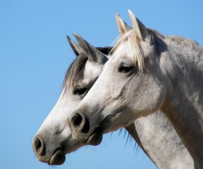 Arabian Horse Head Profile
