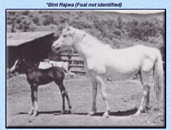 Bint Rajwa, a Saqlawiyah of Lebanese and desert breeding, imported to the USA by W.R. Hearst in 1947