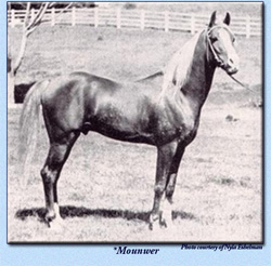 The asil stallion *Mounwer, a Shuwayman from Lebanon, imported to the USA in 1947
