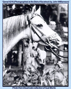 Zamal, by Sergent-Major. Photo taken at the Beirut racetrack by John Williamson