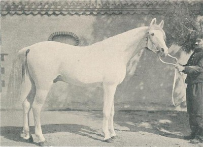 Aziz, 1888, imported to Algeria by the French government