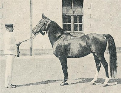 Dahman, a desert bred Rabdan stallion, by a Dahman, bred by the Shammar, herd stallion at the Shammar, imported to France in 1909