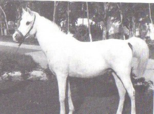 Hadia, from Tunisia, a Kuhaylat al-'Ajz tracing to the stallion Aziz