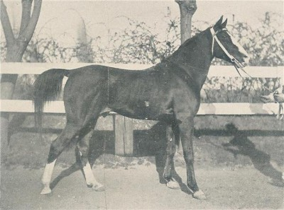 Salamie, desert bred stallion imported to Algeria by the French in the 1890s