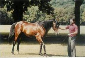 Jazour, a Kuhaylan al-'Ajuz, by Saadi out of Izarra, bred by Robert Mauvy in France