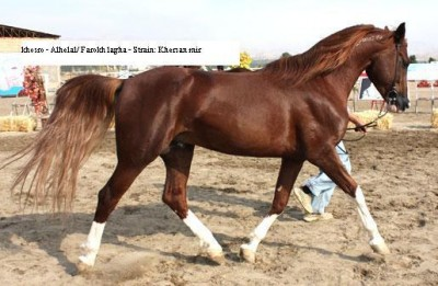 Khosro, an Arabian horse from Iran