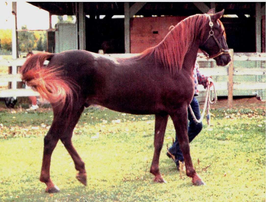 Glorious Bahri 1983 Asil Hamdani Simri Stallion In Canada Daughters Of The Wind