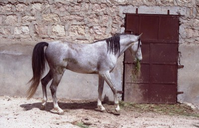 Khalid, a Saqlawi Jaadran owned by M. al-Jabri in Aleppo