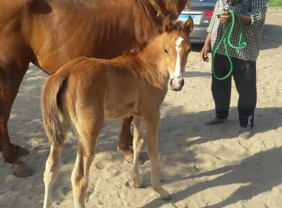 Kharssa filly Tahawi 2014